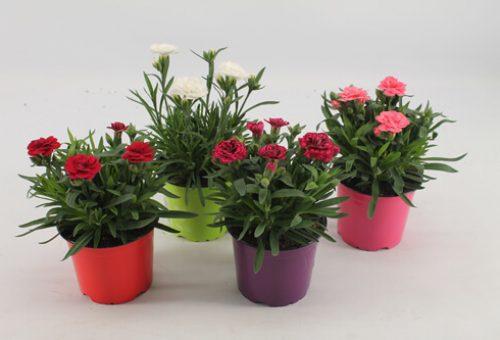 Dianthus pot 12